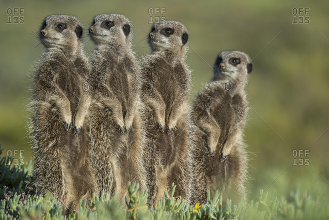 Group of Meerkats (Suricata suricatta) looking curiously, Little Karoo, Western Cape, South Africa, Africa