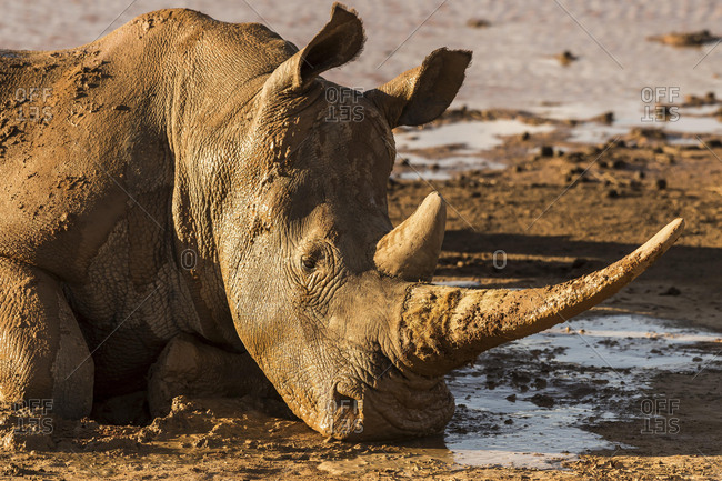 Square-lipped rhinoceros (Ceratotherium simum) wallowing in mud, Aquila Private Game Reserve, Western Cape, South Africa, Africa