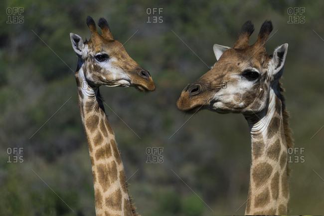Two Giraffes (Giraffa camelopardalis), Hluhluwe-imfolozi Park, KwaZulu-Natal, South Africa, Africa