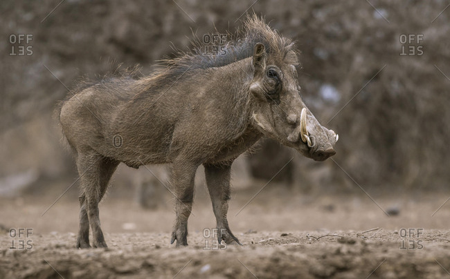 Common warthog (Phacochoerus africanus), Mashatu Game Reserve, Tuli Block, Botswana, Africa