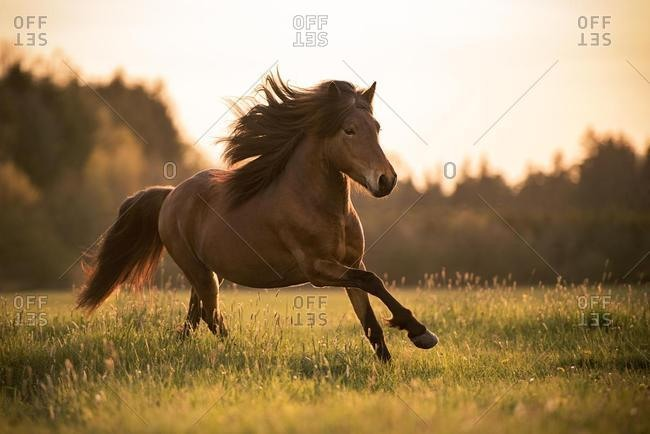 Icelandic horse (Equus islandicus) gallops over meadow, Germany, Europe