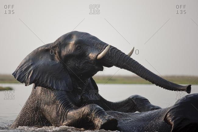 Elephant (Loxodonta africana), Chobe National Park, Botswana, Africa