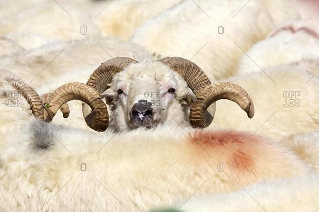 Ram amidst a flock of sheep, Carpathians, Transylvania, Romania, Europe