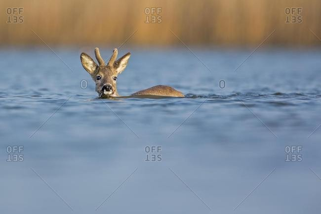 Roe Deer (Capreolus capreolus), buck crossing the Middle Elbe River, Saxony-Anhalt, Germany, Europe