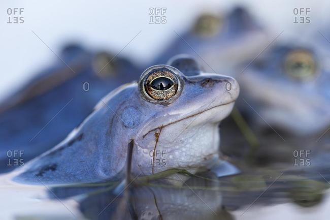 Moor Frog (Rana arvalis), male, Mittelelbe, Saxony-Anhalt, Germany, Europe