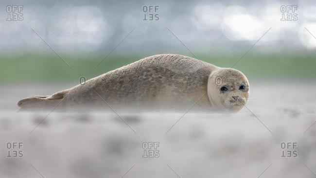 Harbor seal (Phoca vitulina) on the beach, North Sea island Helgoland, Schleswig-Holstein, Germany, Europe