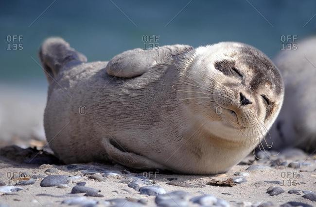 Harbour Seal (Phoca vitulina), sleeping pup, Dune, Heligoland, Schleswig-Holstein, Germany, Europe