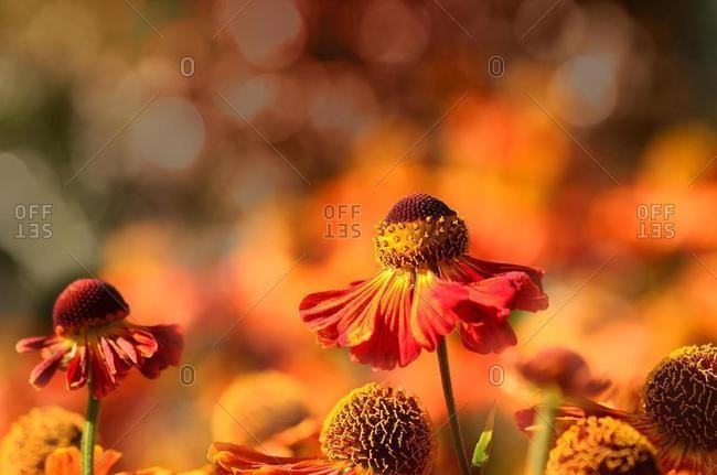 Common sneezeweed (Helenium autumnale), Germany, Europe