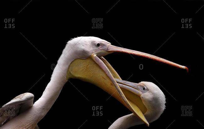 Pelican (Pelecanus) feeding a young