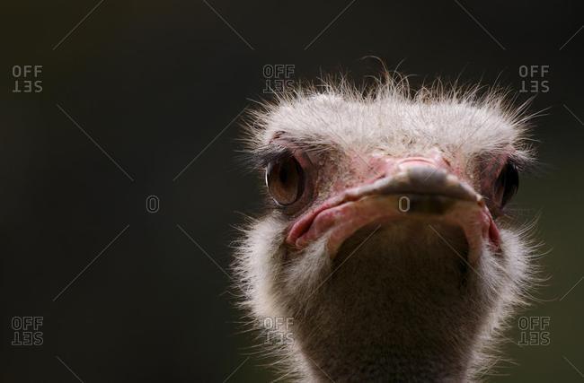Ostrich (Struthio camelus), portrait