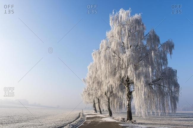 Winter landscape, birch trees (Betula) with hoarfrost next to road, Erdinger Moos, Bavaria, Germany, Europe