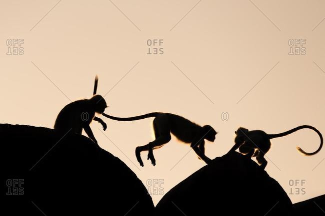 Silhouettes of Common Langur or Hanuman Monkey (Semnopithecus entellus), Jaipur, Rajasthan, India, Asia