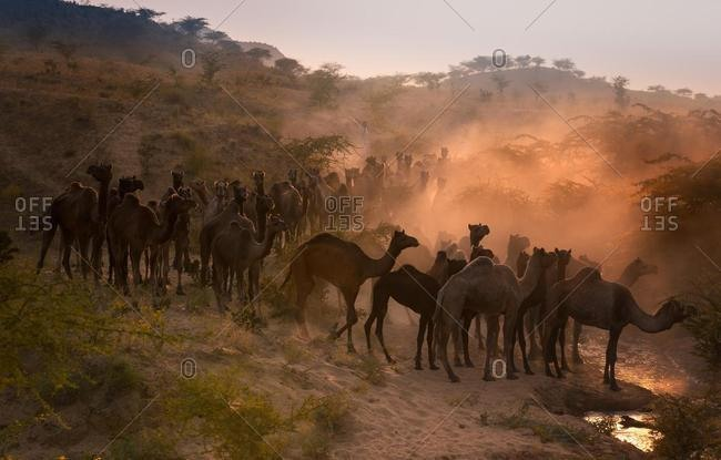 Camels on the way to Pushkar Mela at sunset, Pushkar Camel Fair, Pushkar, Rajasthan, India, Asia