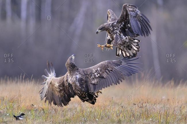 White-tailed Eagles (Haliaeetus albicilla) fighting on an autumn meadow, Kuyavian-Pomeranian Voivodeship, Poland, Europe