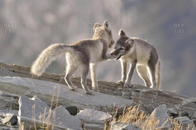 Young Arctic foxes (Vulpes lagopus, syn. Alopex lagopus) playing, Dovrefjell- Sunndalsfjella National Park, Norway, Europe