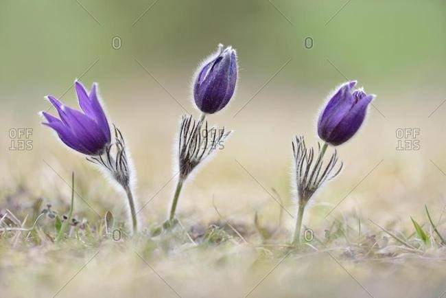 Common pasque flowers (Pulsatilla vulgaris), Thuringia, Germany, Europe
