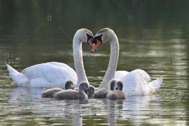 Mute swans (Cygnus olor) with young animals on a pond in the biosphere reserve Oberlausitzer Heide, and pond landscape, Oberlausitz, Germany, Europe