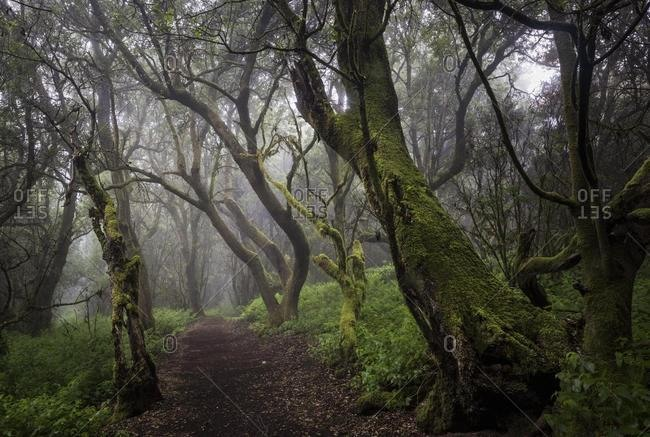 Moss-covered trees in the fog forest, laurel forest, Raya la Llania, El Hierro, Canary Islands, Spain, Europe