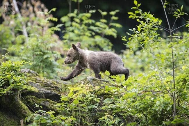 Young Brown Bear (Ursus arctos), cub, animal enclosure, Bavaria, Germany, Europe