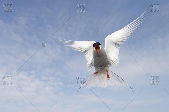 Arctic Tern (Sterna paradisaea), attacking adult in flight, Schleswig-Holstein, Germany, Europe