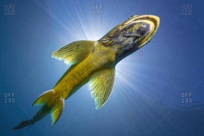 Char (Salvelinus), fish, swimming in a lake, Grublsee, Styria, Austria, Europe