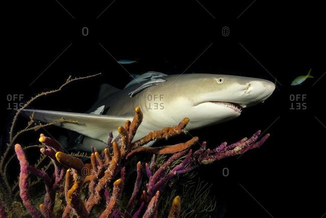 Nightdive, lemon shark (Negaprion brevirostris), night, coral, Tiger Beach, Bahamas, Caribbean, Central America