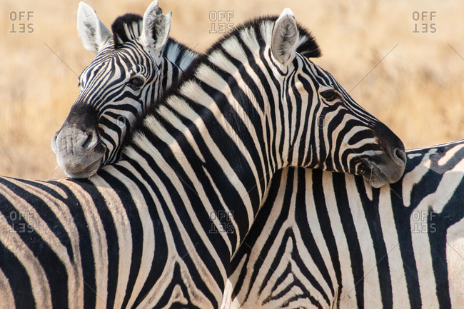 Plains Zebras or Burchell's Zebras (Equus burchelli), Etosha National Park, Namibia, Africa