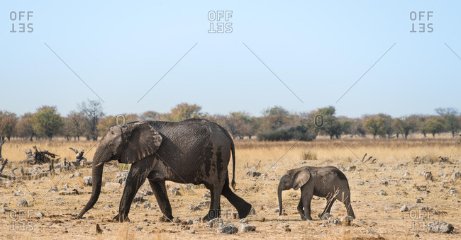 African Elephants (Loxodonta africana), after bathing, Etosha National Park, Namibia, Africa