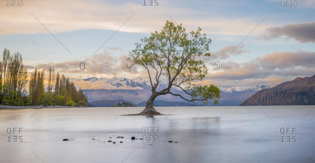 Sunrise, single tree standing in water, Lake Wanaka, The Wanaka Tree, Roys Bay, Otago, Southland, New Zealand, Oceania