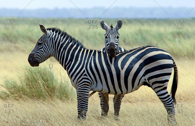 Plains zebras (Equus quagga burchelli) Tsavo National Park, Kenya, Africa