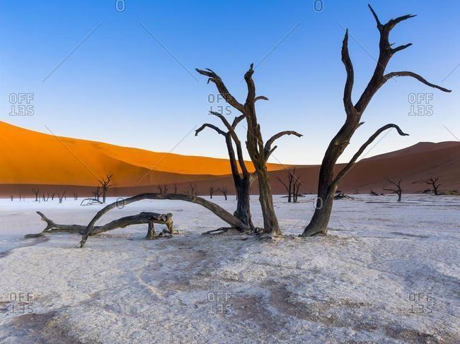 Dead camel thorn trees (Vachellia erioloba) in Dead Vlei in front of sand dunes, salt pan, Sossusvlei, Namib Desert, Namib-Naukluft National Park, Namibia, Africa
