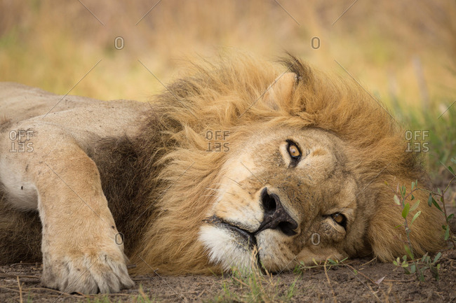 Lion (Panthera leo), adult male with a long mane, lying down, Okavango Delta, Botswana, Africa