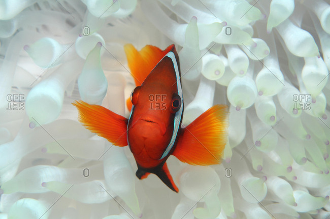 Clark's anemonefish (Amphiprion clarkii) in a malu anemone (Heteractis malu), white, Palawan, Mimaropa, Sulu Lake, Pacific Ocean, Philippines, Asia