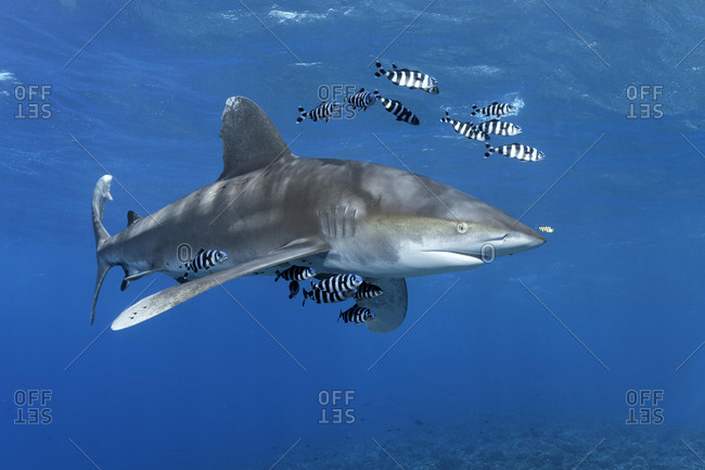 Oceanic whitetip shark (Carcharhinus longimanus) surrounded by Pilot Fishes (Naucrates ductor) floats in the open sea, Red Sea, Egypt, Africa