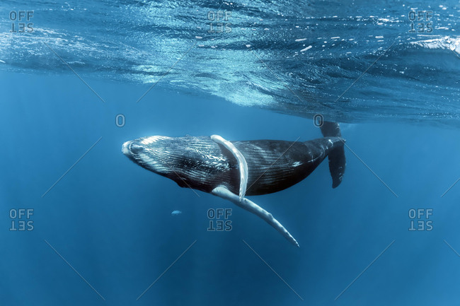 Humpback whale (Megaptera novaeangliae), playful close to the sea surface, Pacific Ocean, Rurutu, French Polynesia, Oceania