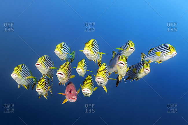 Mixed Swarm Oriental Sweetlips (Plectorhinchus vittatus) and two-spot red snapper (Lutjanus bohar), Indian Ocean, Maldives, Asia