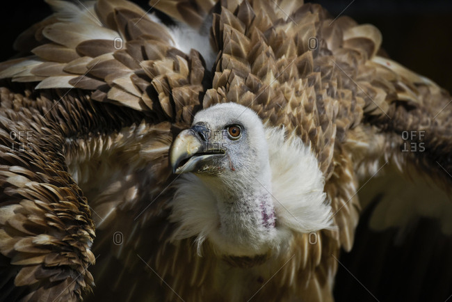 Griffon Vulture (Gyps fulvus), captive, Altmuhltal, Bavaria, Germany, Europe