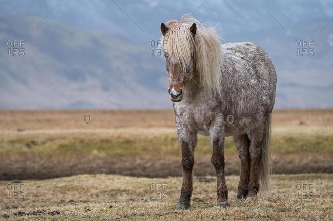 Icelandic horse, Vik, Iceland, Europe