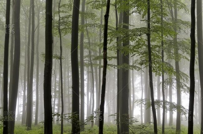 Deciduous forest with Beech trees (Fagus sylvatica) on a foggy rainy day, North Rhine-Westphalia, Germany, Europe