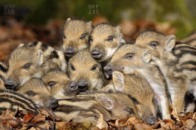 Wild boars (Sus scrofa), young rookies lying in foliage, captive, North Rhine-Westphalia, Germany, Europe