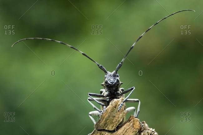 Longhorn beetle species (Monochamus sartor), female, Schwaz, Tyrol, Austria, Europe