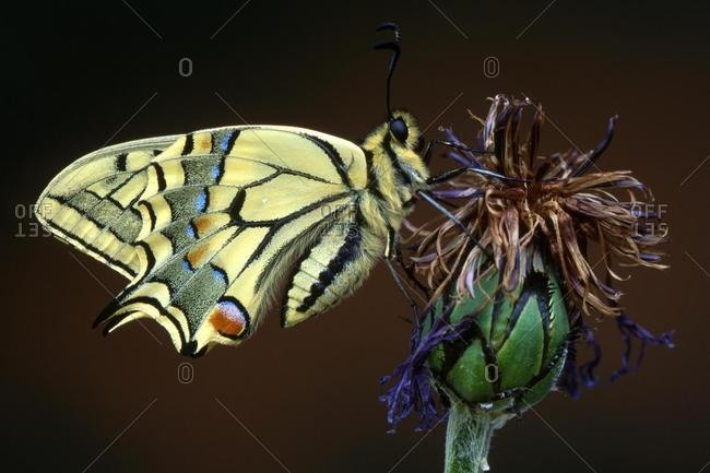 Old World Swallowtail or Common Yellow Swallowtail (Papilio machaon) perched on a flower, Angerberg, Tirol, Austria, Europe