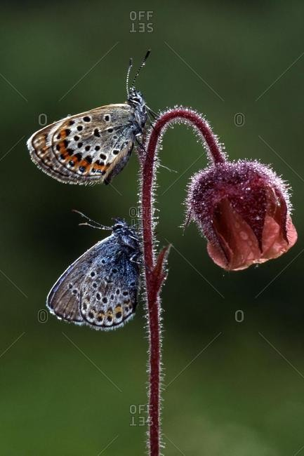Silver-studded Blue butterfly (Plebejus argus) perched on a flower above a Common Blue butterfly (Polyommatus icarus), Woergl, Tirol, Austria, Europe