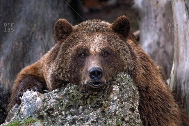 Brown Bear (Ursus arctos), Hellabrunn Zoo, Salzburg, Austria, Europe