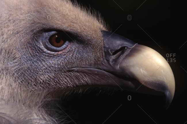 Griffon Vulture (Gyps fulvus), Bavarian Forest National Park, Bavaria, Germany, Europe