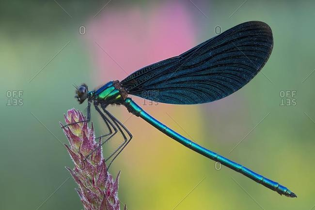 Beautiful Demoiselle (Calopteryx virgo), Burgenland, Austria, Europe