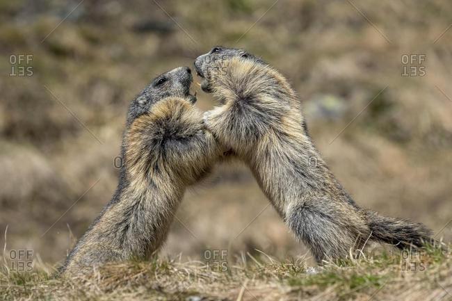 Marmots (Marmota marmota), fighting, Franz-Josefs Hohe, Hohe Tauern National Park, Carinthia, Austria, Europe