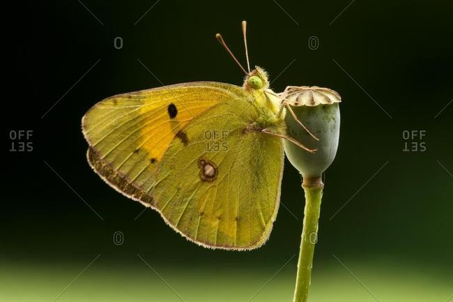 Dark Clouded Yellow (Colias croceus) butterfly, male, Tuscany, Italy, Europe