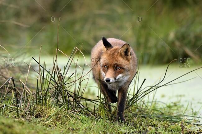 Red fox (Vulpes vulpes) at the brook, Waterleidingduinen, North Holland, Netherlands