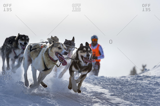 Sled dog racing, sled dog team in winter landscape, Unterjoch, Oberallgau, Bavaria, Germany, Europe